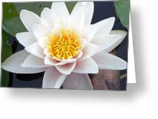 White Water Lily Greeting Card by RM Vera
