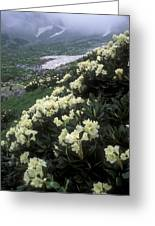 Wild Rhododendrons On A Hillside Greeting Card by Anonymous