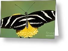 Zebra Longwing Butterfly Greeting Card by Millard H. Sharp