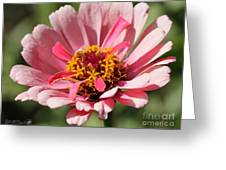 Zinnia from the Whirlygig Mix Greeting Card by J McCombie