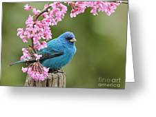 Indigo Bunting Greeting Card by Jack R Brock