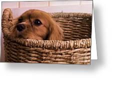 Cavalier King Charles Spaniel Puppy In Basket Greeting Card by Edward Fielding