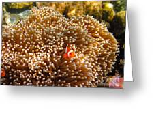 Clownfish In Coral Garden Greeting Card by Fototrav Print