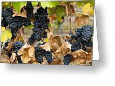 gamay noir grapes Greeting Card by Kevin Miller