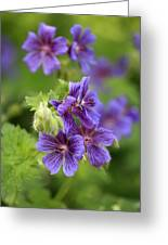 Geranium Himalayense Greeting Card by Frank Tschakert