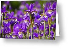 Irises Greeting Card by Elena Elisseeva