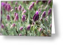 Lavender Standout Greeting Card by Carol Groenen