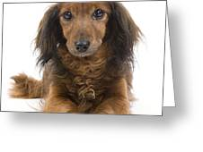 Long-haired Dachshund Greeting Card by Jean-Michel Labat