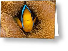 Orange Fin Anemonefish Greeting Card by Dave Fleetham