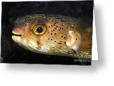 Porcupine Fish Greeting Card by Sami Sarkis