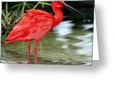 Scarlet Ibis Greeting Card by Millard H Sharp