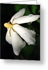 Sun Kissed Gardenia Greeting Card by Kelly Nowak