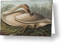 Trumpeter Swan Greeting Card by John James Audubon