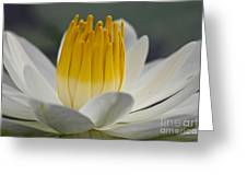 White Water Lily Greeting Card by Heiko Koehrer-Wagner