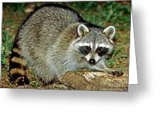 Raccoon Greeting Card by Millard H. Sharp