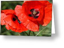 Beautiful Poppies 2 Greeting Card by Carol Lynch