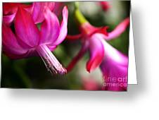 Christmas Cactus In Bloom Greeting Card by Thomas R Fletcher