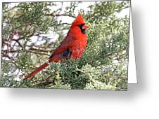 Northern Cardinal - Male Greeting Card by Jim Nelson