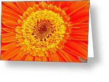 Orange Gerber Greeting Card by Borislav Marinic