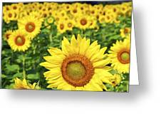 Sunflower field Greeting Card by Elena Elisseeva