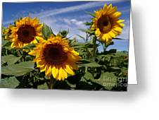 3 Sunflowers Greeting Card by Kerri Mortenson