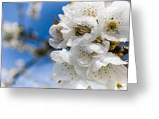 White Cherry Blossoms Blooming In The Springtime Greeting Card by Nila Newsom