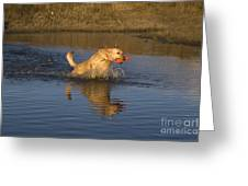 Yellow Labrador Greeting Card by Linda Freshwaters Arndt