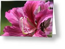 Bauhinia blakeana - Hong Kong Orchid - Hawaiian Orchid Tree  Greeting Card by Sharon Mau