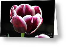 Triumph Tulip Named Jackpot Greeting Card by J McCombie
