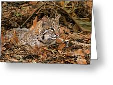 611000006 Bobcat Felis Rufus Wildlife Rescue Greeting Card by Dave Welling
