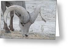 A Young Desert Bighorn Grazes On Greeting Card by Carolina Liechtenstein