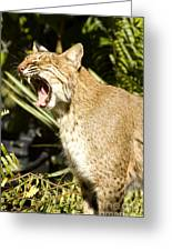 Adult Florida Bobcat Greeting Card by Anne Rodkin