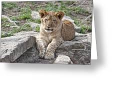 African Lion Cub Greeting Card by Tom Mc Nemar
