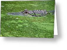 Alligator In Swamp Greeting Card by Aimee L Maher Photography and Art