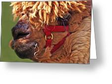 Alpaca Punk Greeting Card by Terril Heilman