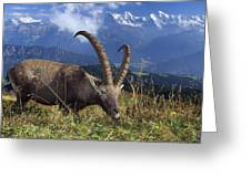 Alpin Ibex Male Grazing Greeting Card by Konrad Wothe
