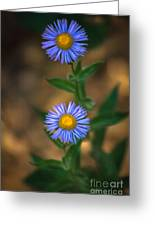 Alpine Aster Greeting Card by Robert Bales