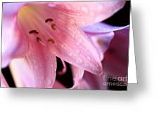 Amaryllis Greeting Card by Cheryl Young