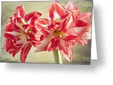Amaryllis Red Greeting Card by Jeff Kolker
