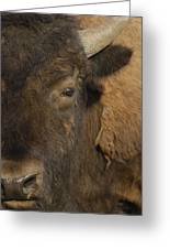 American Bison  Male Wyoming Greeting Card by Pete Oxford