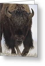 American Bison Portrait Greeting Card by Tim Fitzharris