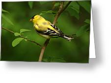 American Gold Finch Greeting Card by Sandy Keeton