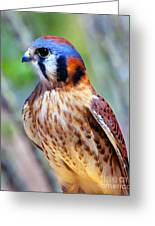 American Kestrel Greeting Card by Douglas Taylor