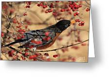 American Robin Eating Winter Berries Greeting Card by Inspired Nature Photography Fine Art Photography