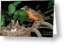 American Robin Feeding Its Young Greeting Card by David N. Davis
