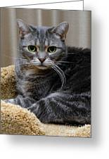 American Shorthair Cat Portrait Greeting Card by Amy Cicconi