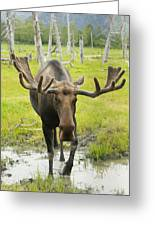 An Elk Standing In A Puddle Of Water Greeting Card by Doug Lindstrand
