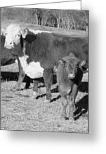 Animals Cows The Curious Calf Black And White Photography Greeting Card by Ann Powell