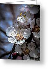 Apple Blossoms Greeting Card by Robert Bales
