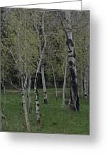 Aspens In The Spring Greeting Card by Shawn Hughes